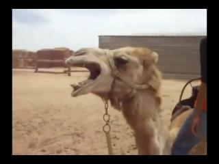 Death Metal верблюд